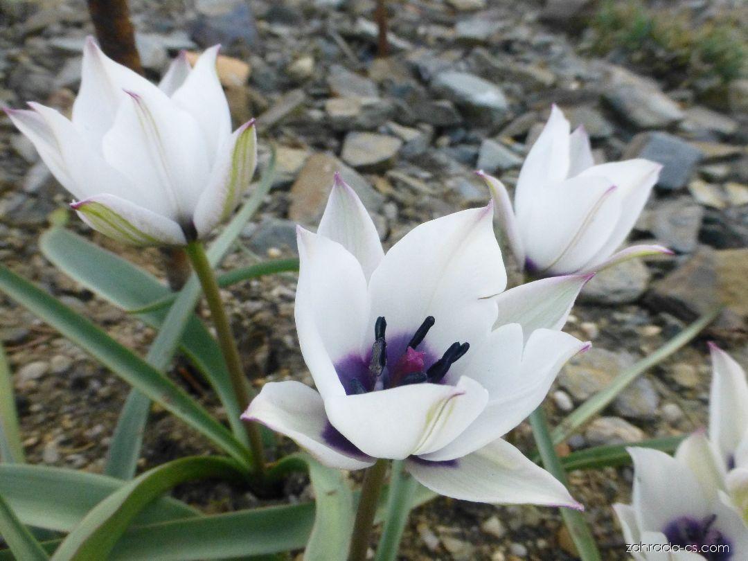 Tulipán - Tulipa humilis var. pulchella Alba Coerulea Oculata