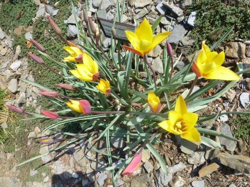 Tulipán (Tulipa clusiana Taco)