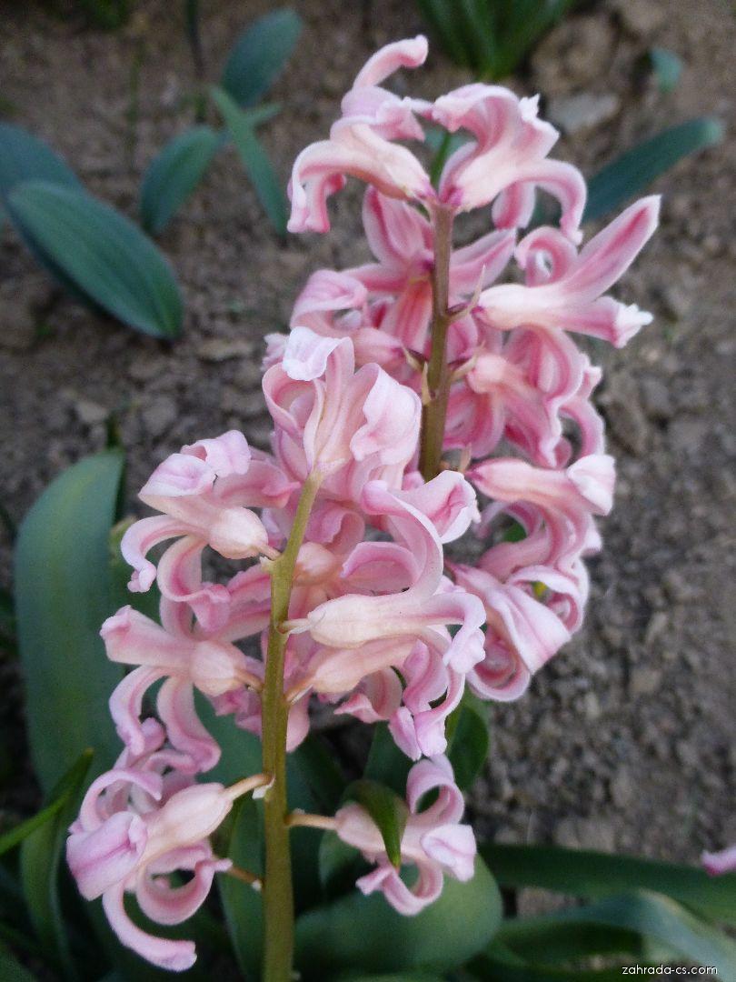 Hyacint východní - Hyacinthus orientalis Gipsy Queen