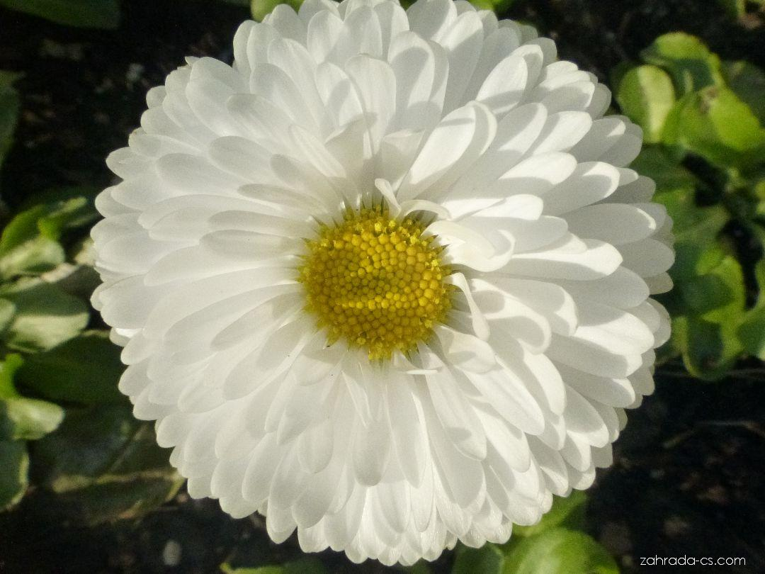 Sedmikráska obecná - Bellis perennis Roggli White