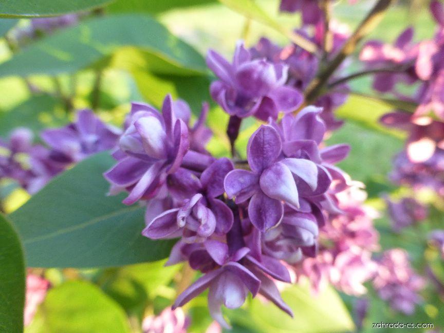 Šeřík obecný - Syringa vulgaris Arthur William Paul