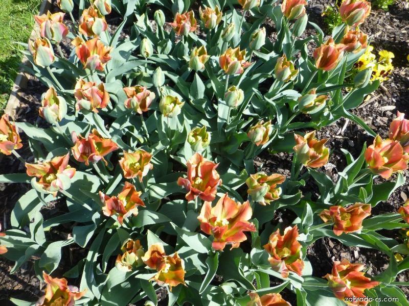 Tulipán - Tulipa Hollywood