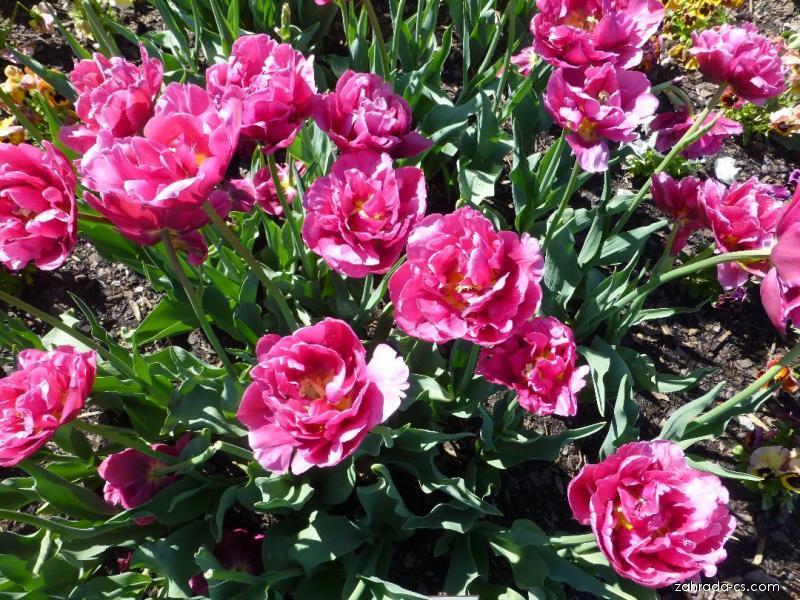 Tulipán - Tulipa Margarita