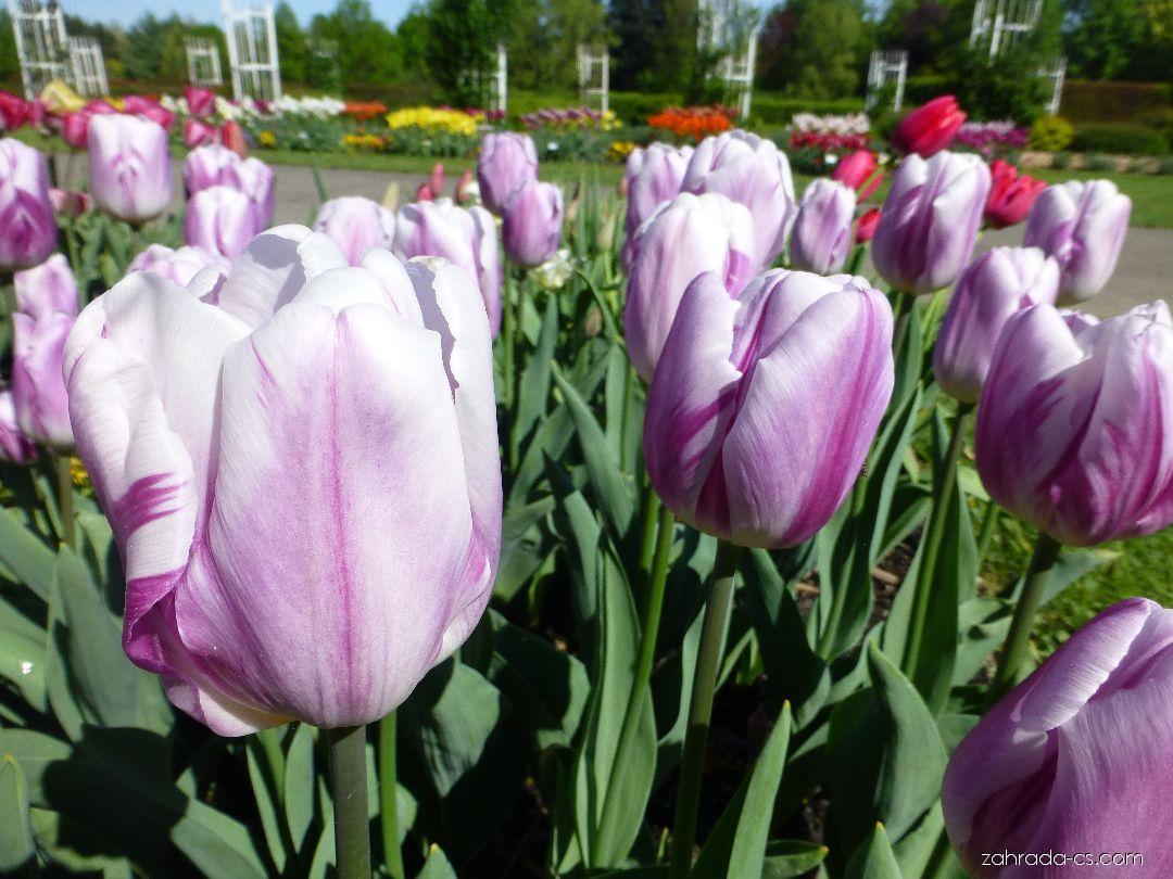 Tulipán - Tulipa Sparkling Flag