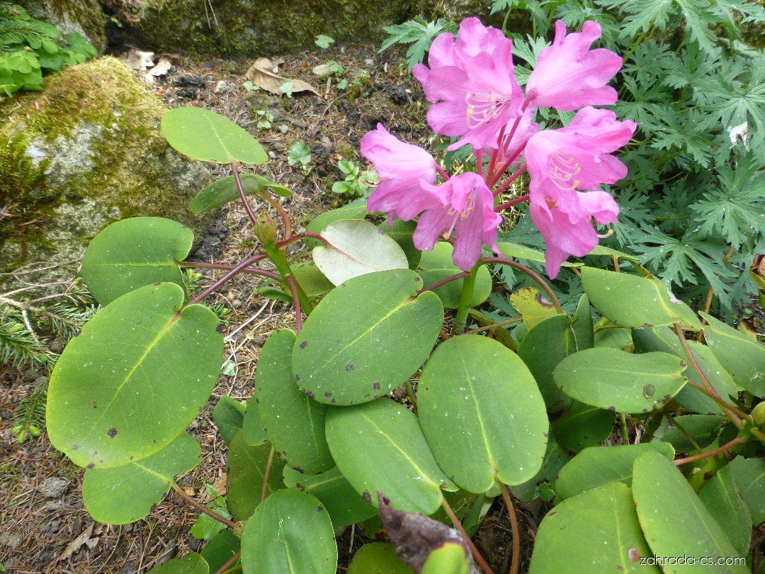 Pěnišník okrouhlý (Rhododendron orbiculare)