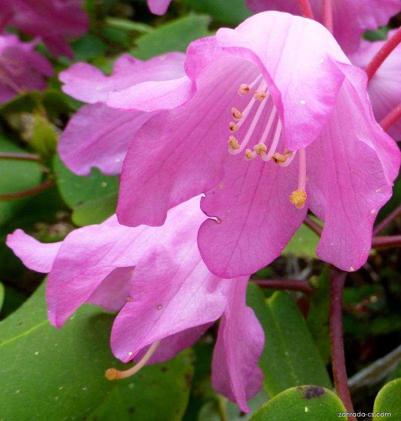Pěnišník okrouhlý - květ (Rhododendron orbiculare)