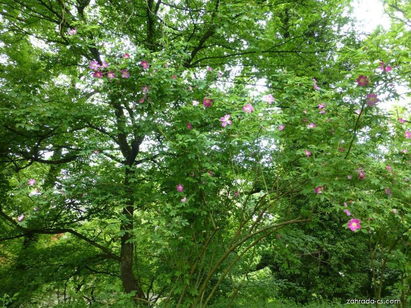 Růže - habitus v květu (Rosa spinulifolia)