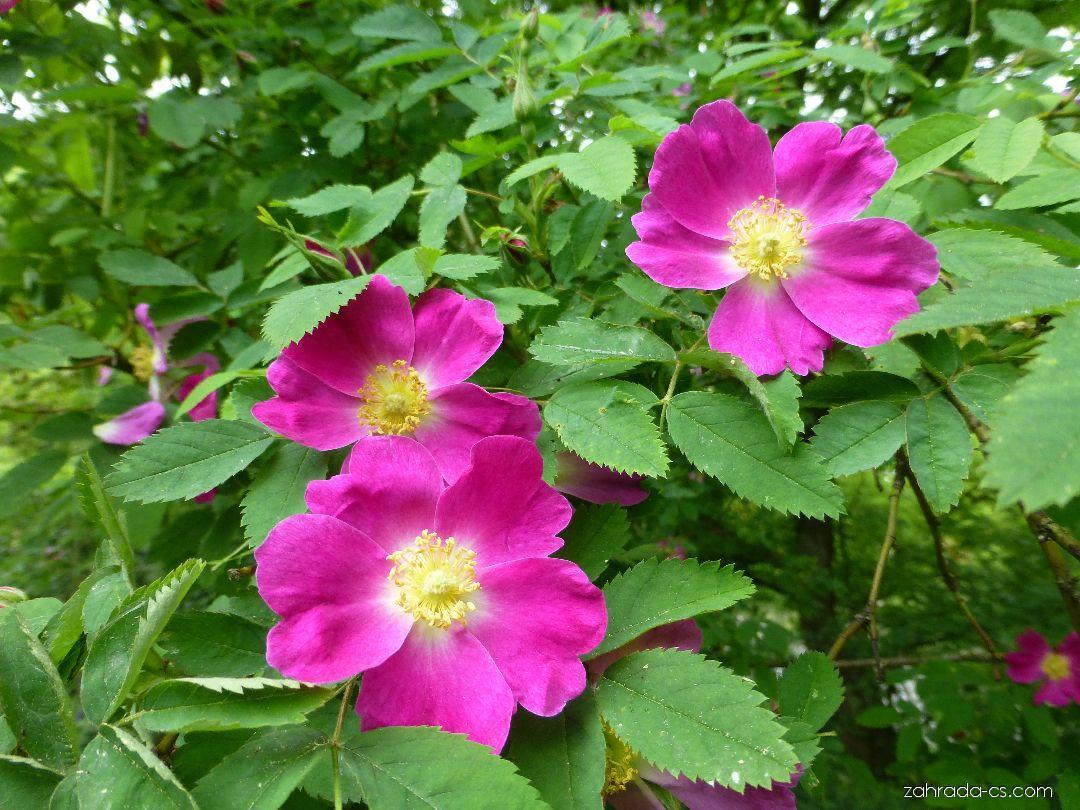 Růže - větévka s květy (Rosa spinulifolia)