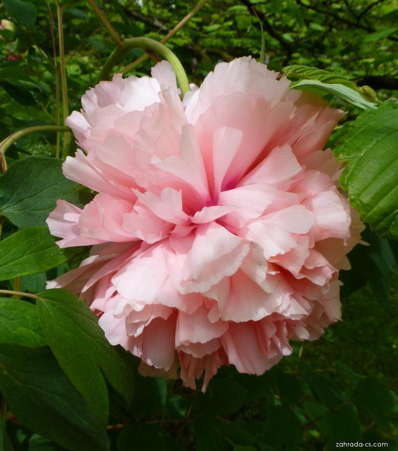 Pivoňka dřevitá Comtesse de Tuder - květ (Paeonia suffruticosa)