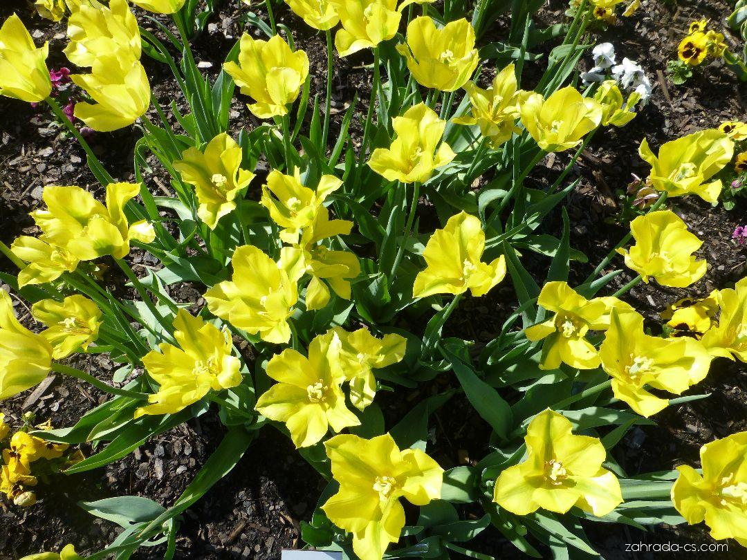 Tulipán - Tulipa Yellow Spring Green