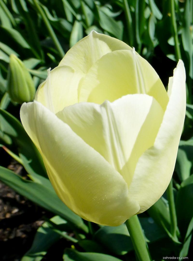 Tulipán - Tulipa Maureen