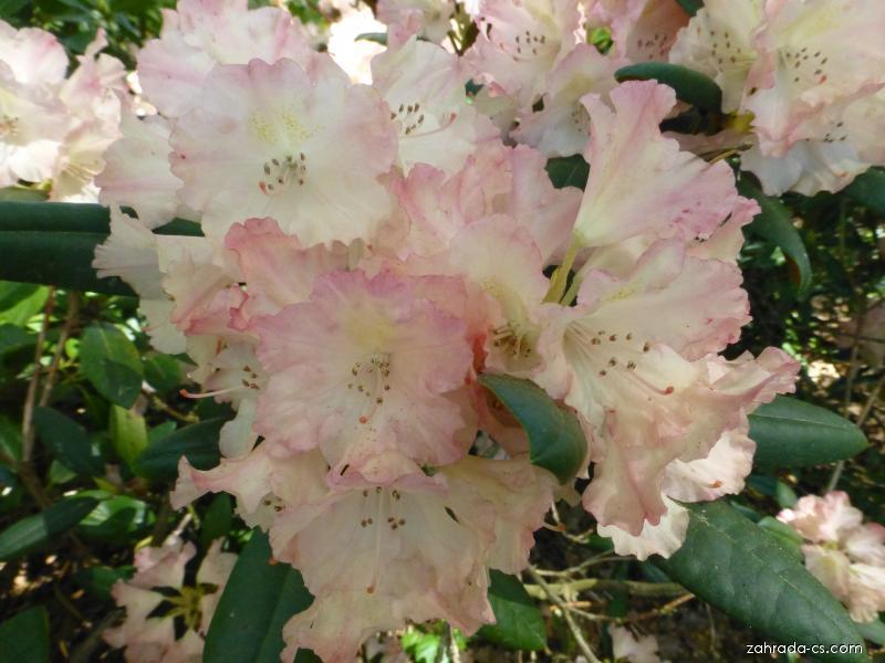 Pěnišník Loreley - květ (Rhododendron)