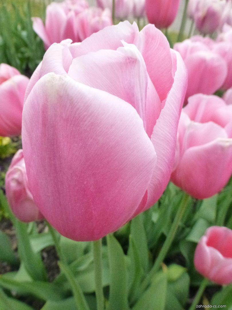 Tulipán - Tulipa Menton