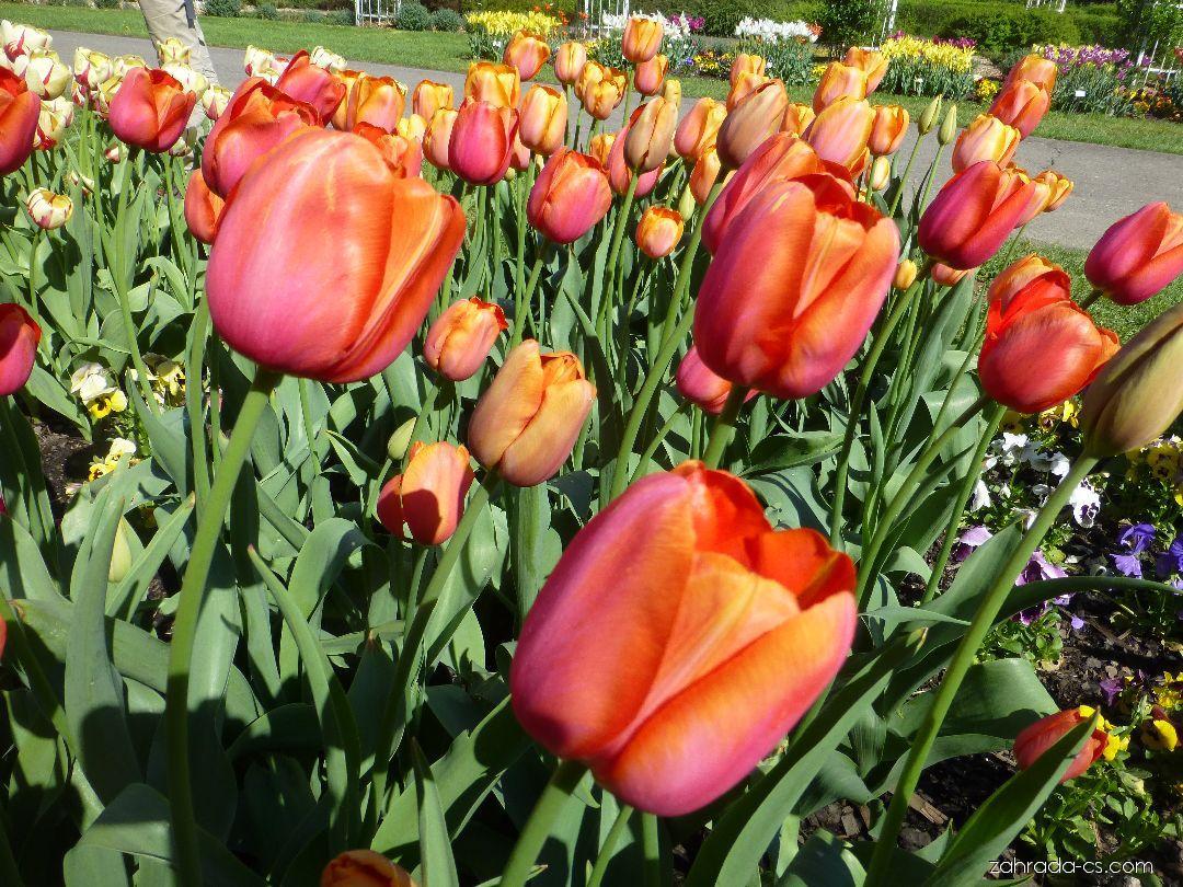 Tulipán - Tulipa Avignon