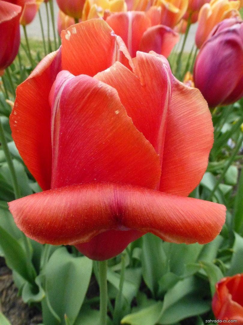 Tulipán Avignon - květ (Tulipa x hybrida)