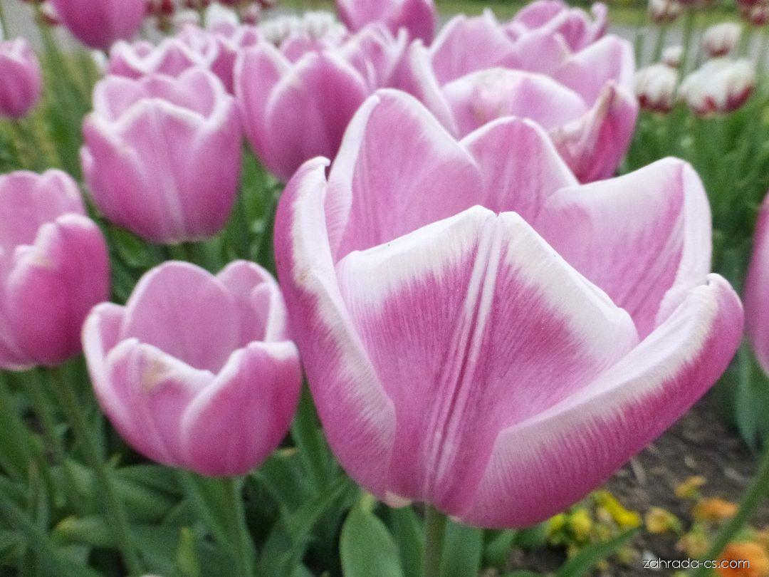 Tulipán - Tulipa Jumbo Beauty