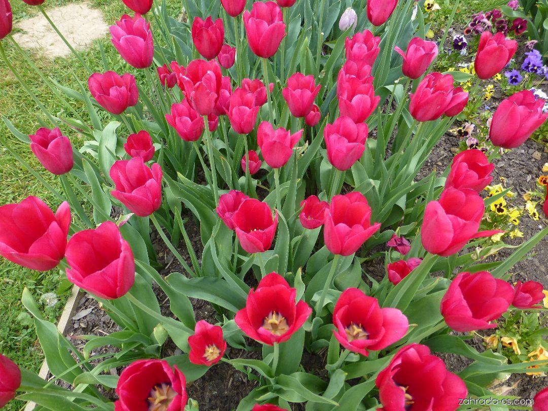 Tulipán - Tulipa Halcro