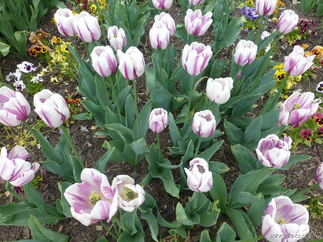 Tulipán - Tulipa Flig Flag