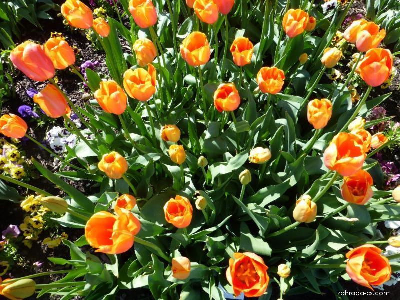 Tulipán - Tulipa Dordogne
