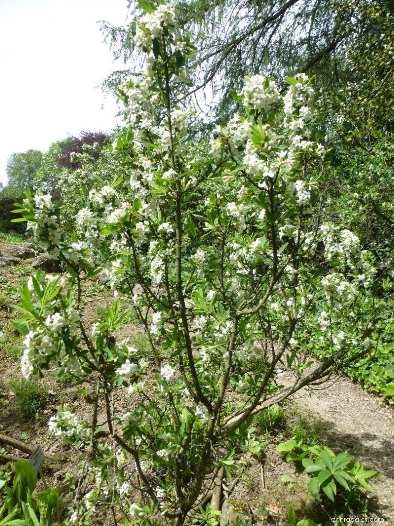 Lýkovec kavkazský - habitus v květu (Daphne caucasica)