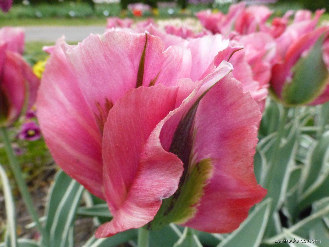 Tulipán - Tulipa Esperanto