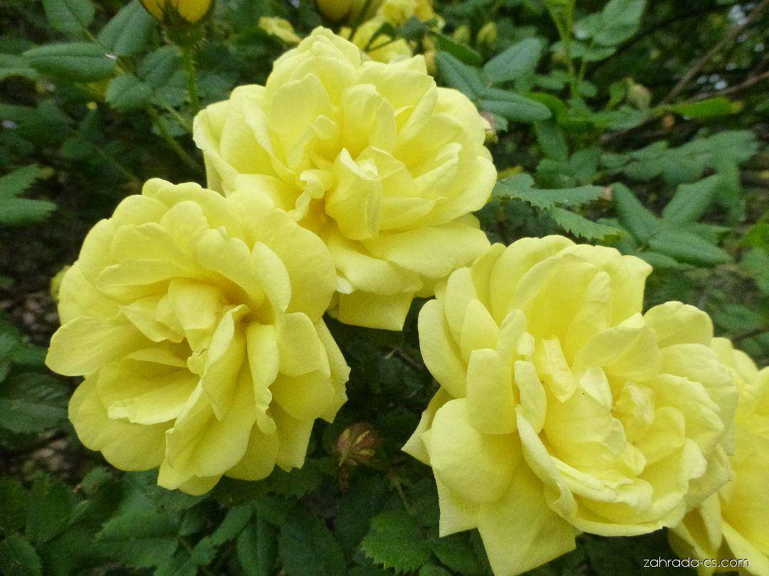 Růže Harisonova - květ (Rosa x harisonii)