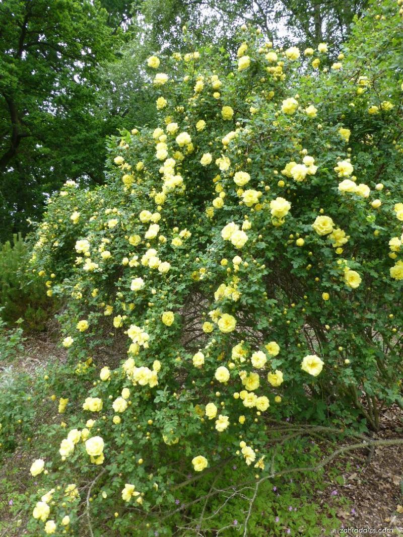 Růže Harisonova - habitus v květu (Rosa x harisonii)