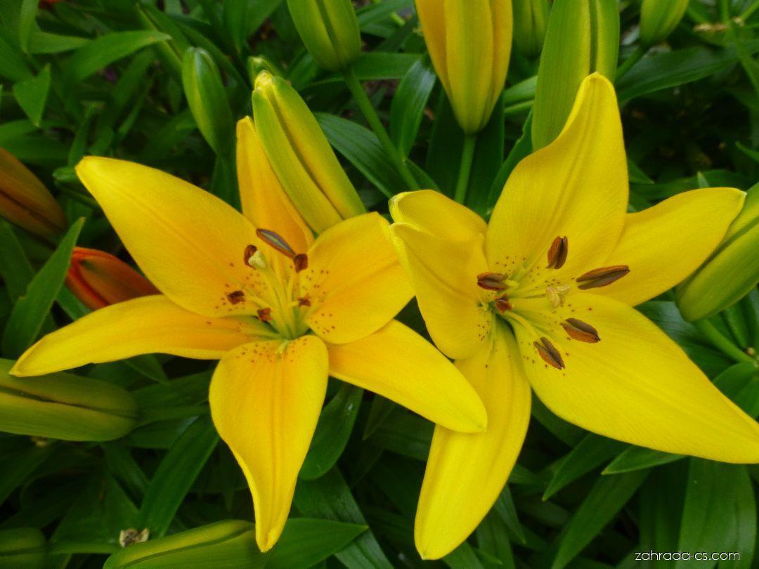 Lilie Tiny Bee - Asijské hybridy nízké (Lilium x hybridum)