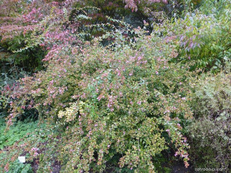 Abélie velkokvětá - Abelia x grandiflora Edward Goucher