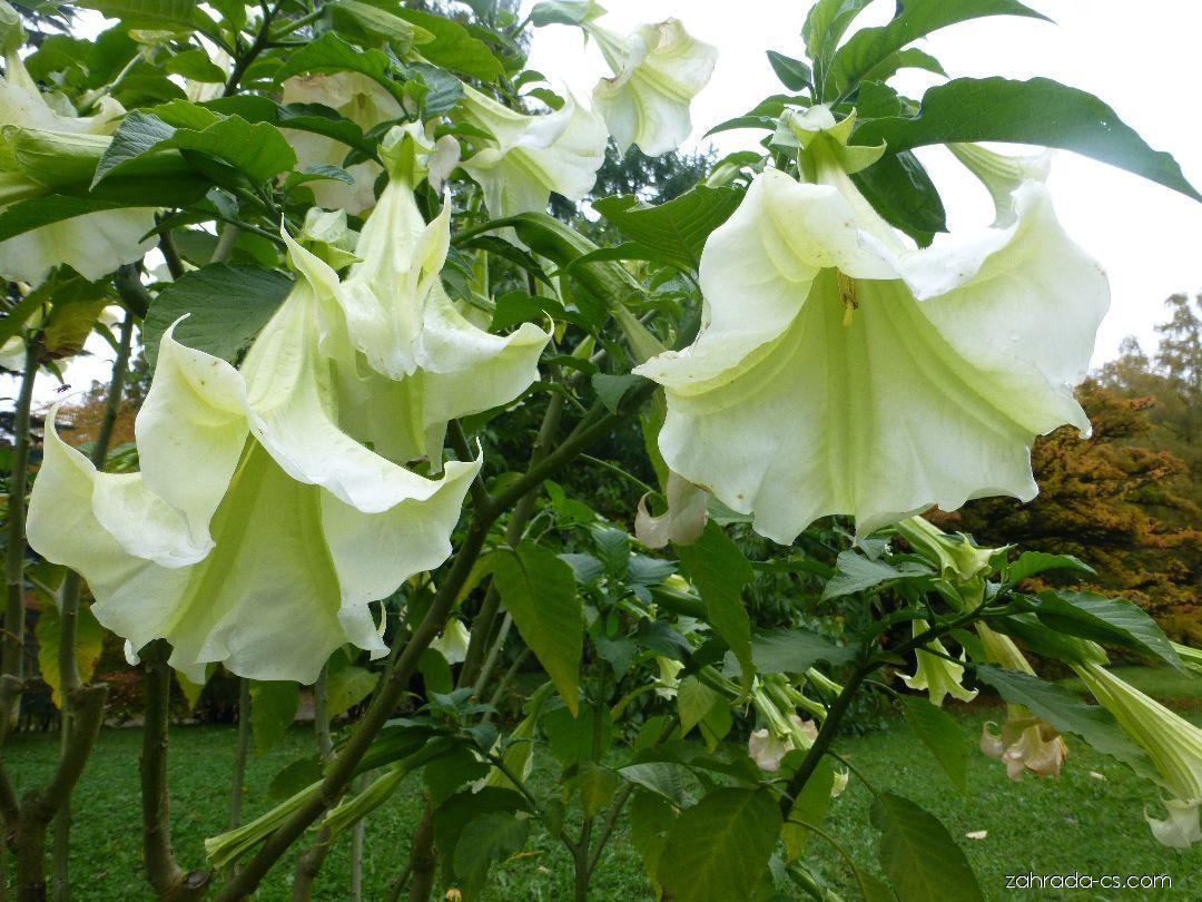 Durman - Brugmansia suaveolens Rosa Traum