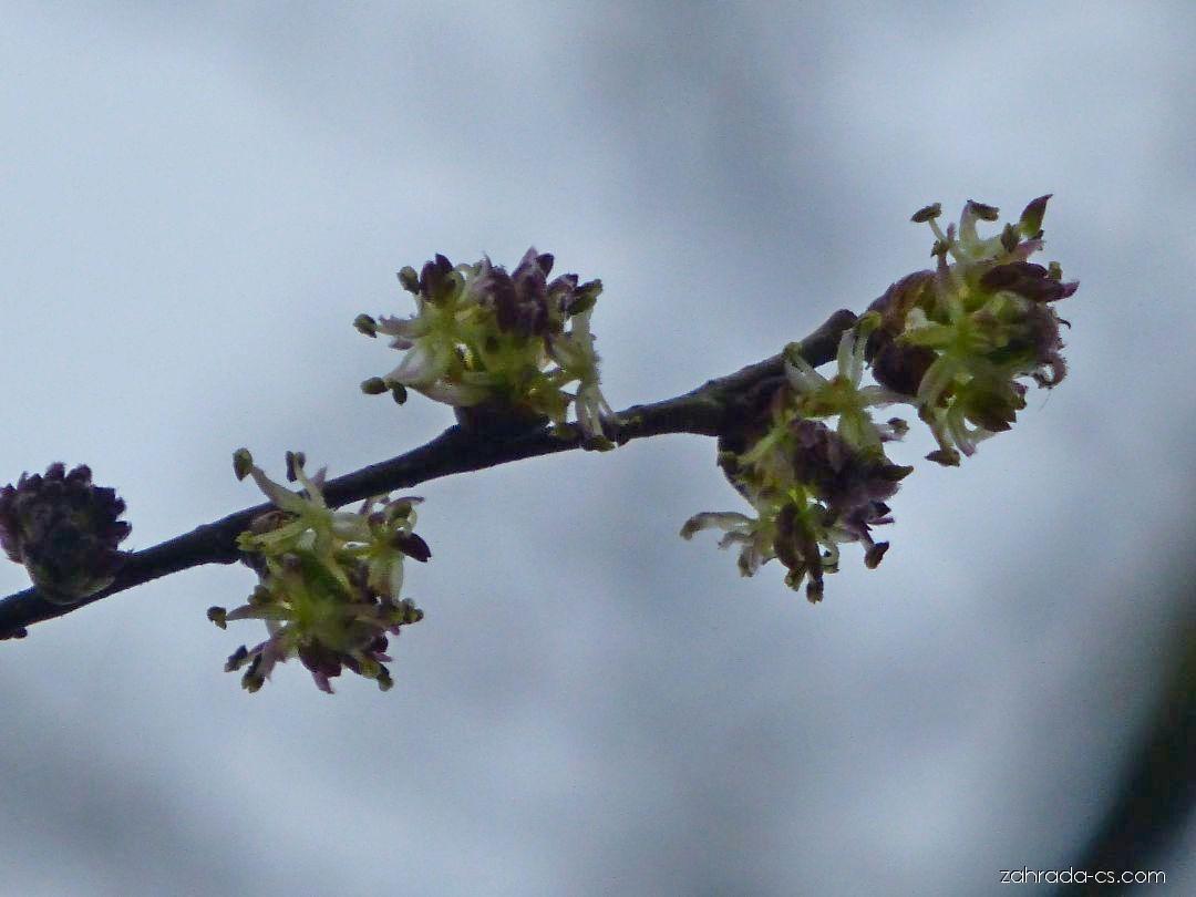 Břestovníček Tatarinovův - větévka s květy (Pteroceltis tatarinowii)