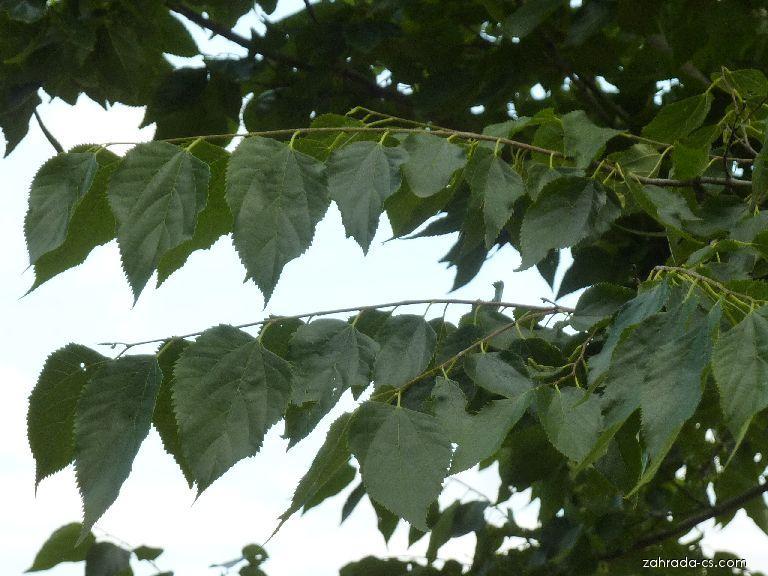 Břestovníček Tatarinovův - listy (Pteroceltis tatarinowii)
