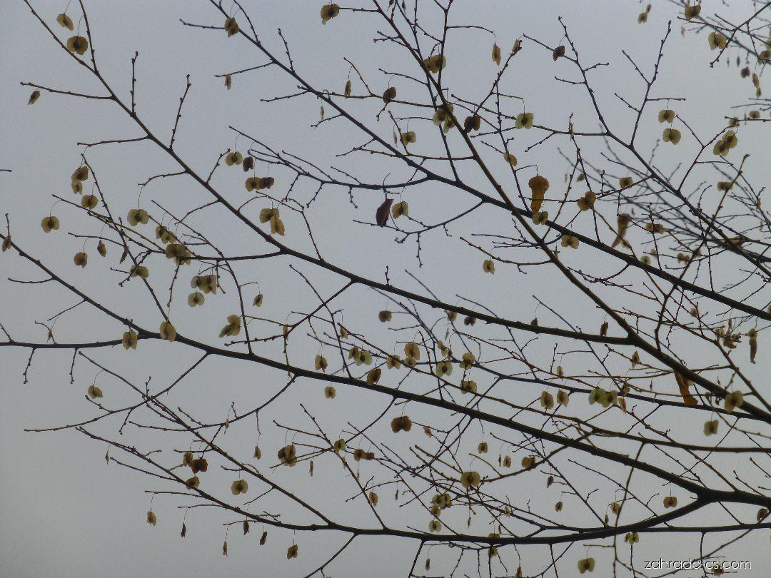 Břestovníček Tatarinovův - podzimní plody (Pteroceltis tatarinowii)