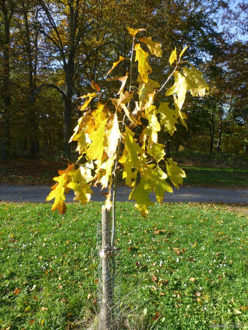 Dub sametový - Quercus velutina Albertsii