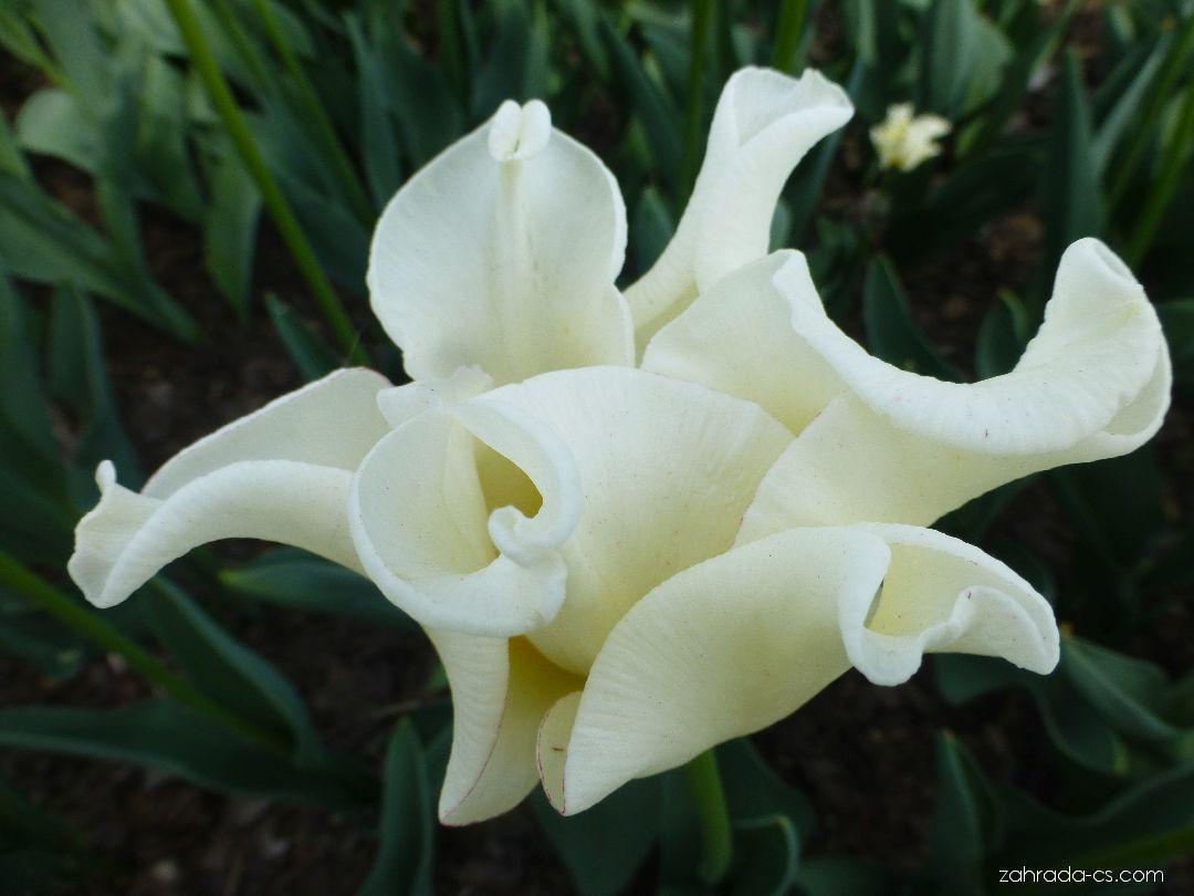 Tulipán - Tulipa Yellow Crown