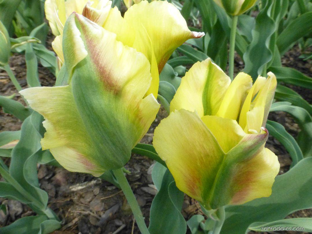 Tulipán - Tulipa Golden Artist