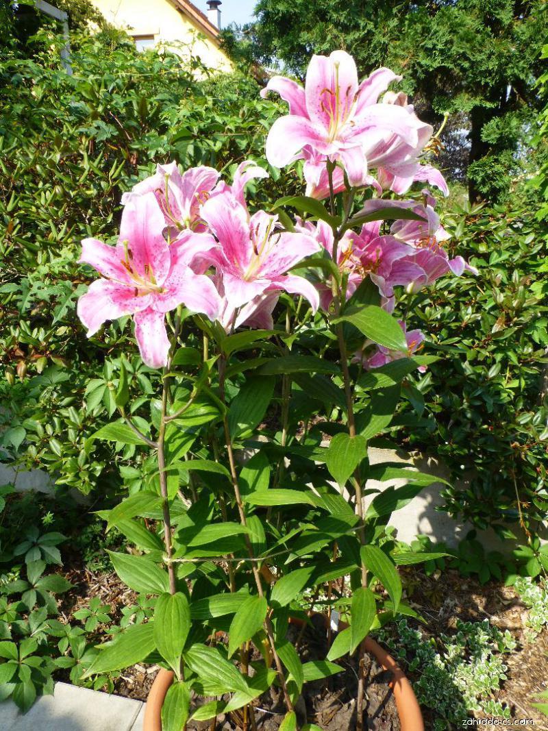 Lilie Sorbonne - Orientální hybridy (Lilium x hybridum)