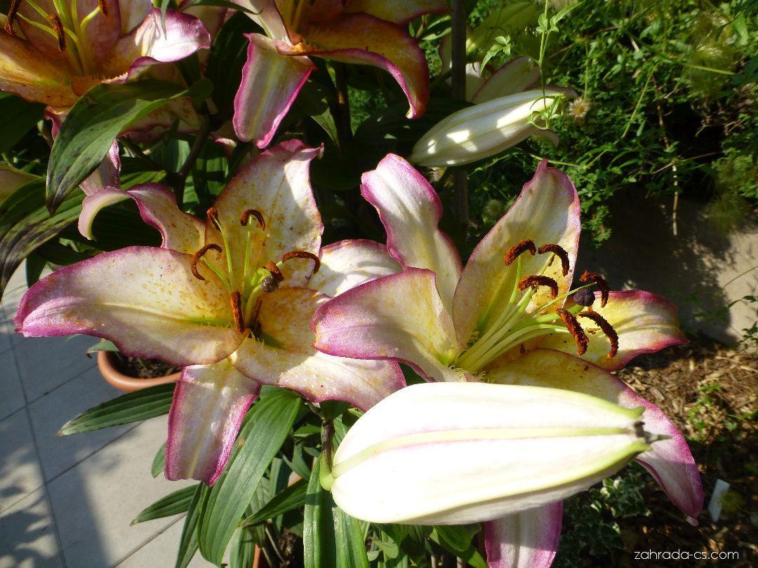 Lilie Hotline - Orientální hybridy (Lilium x hybridum)