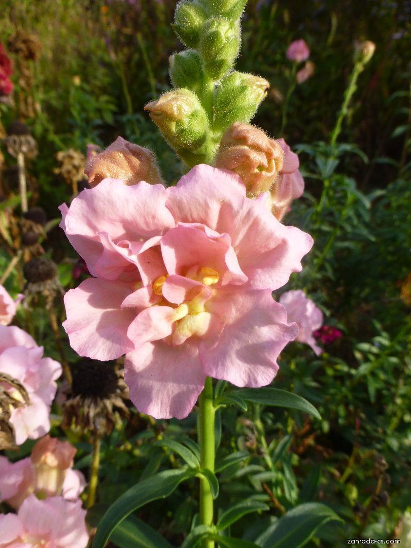 Hledík větší - Antirrhinum majus Madame Butterfly