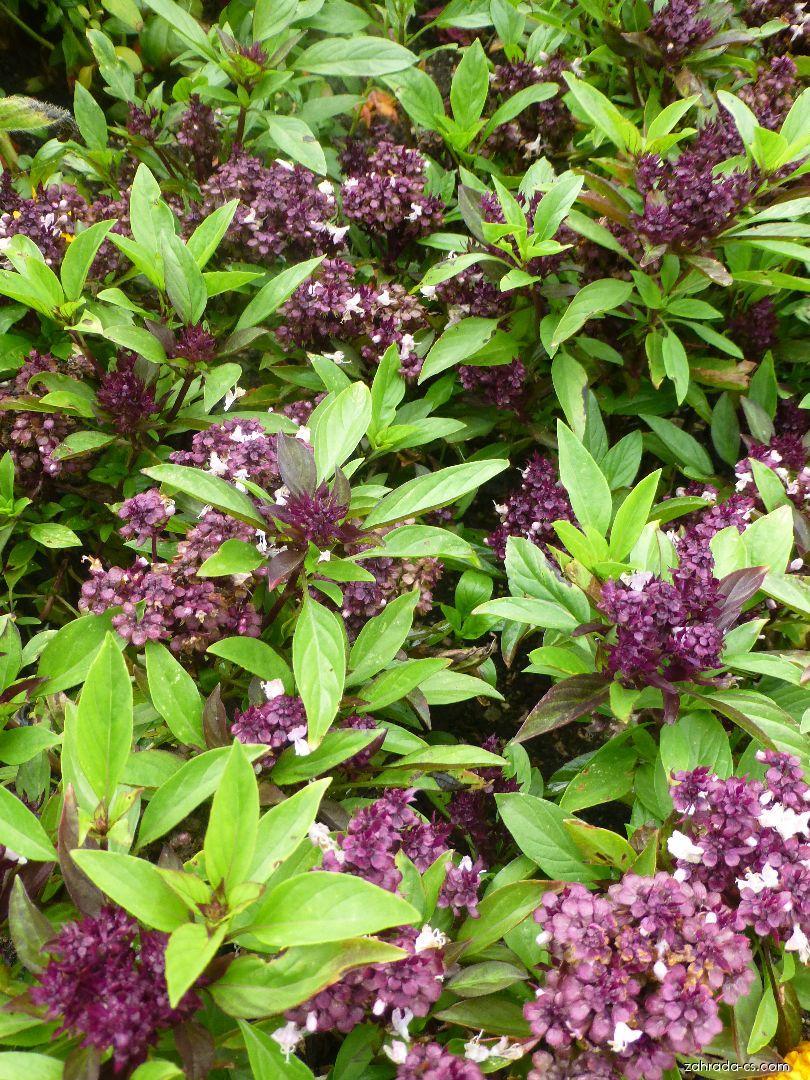 Bazalka pravá - Ocimum basilicum Thai