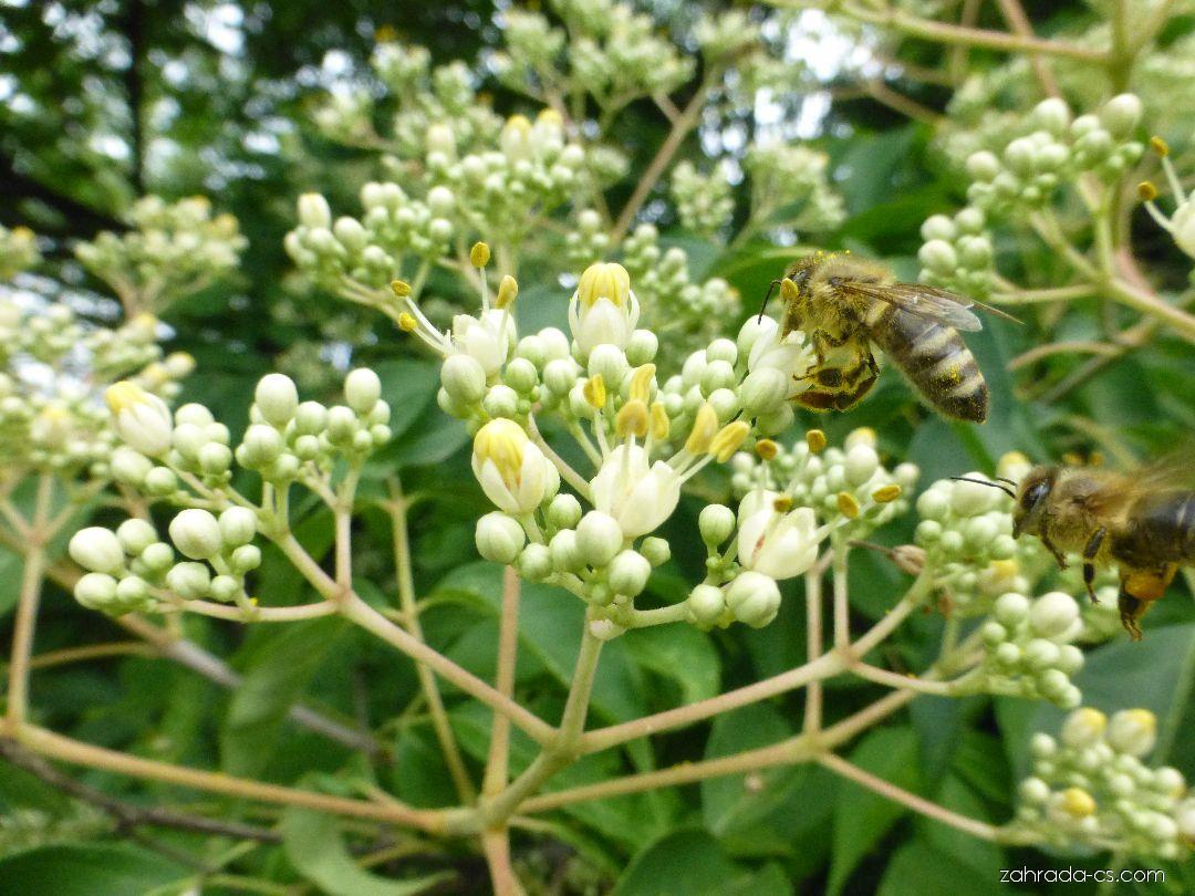 Ampák hupejský - větévka s květy (Euodia hupehensis)