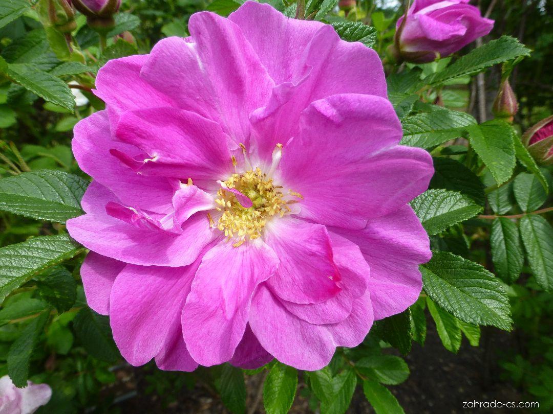 Růže - Rosa Roseraie de LHay