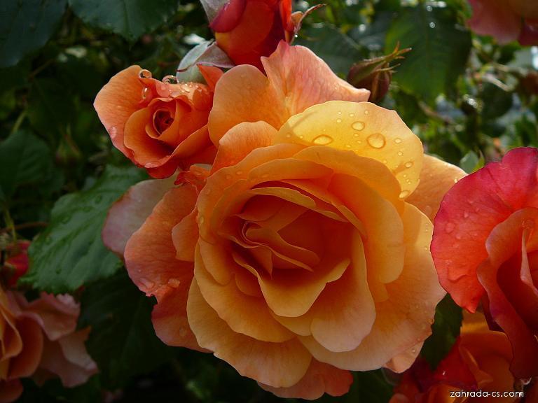 Rosen (Rosa)