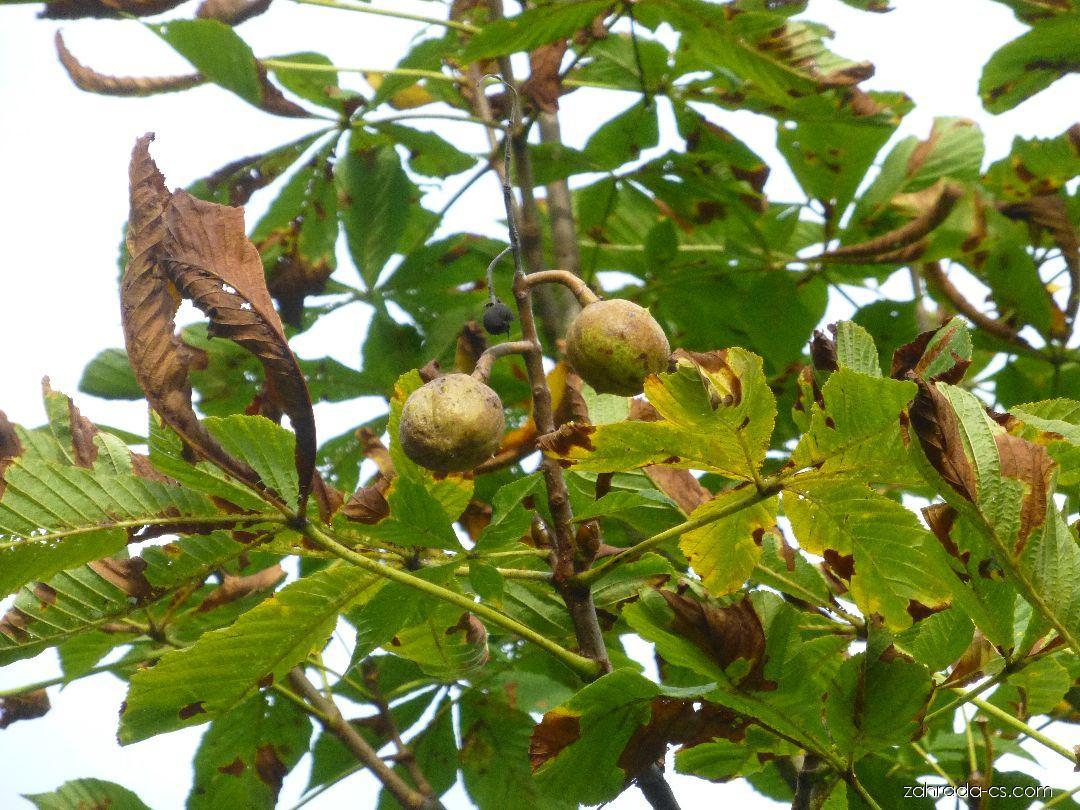 Jírovec maďal Domino - větévka s plody (Aesculus hippocastanum)