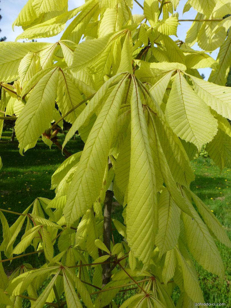 Jírovec maďal Hampton Court Gold - mladé listy (Aesculus hippocastanum)