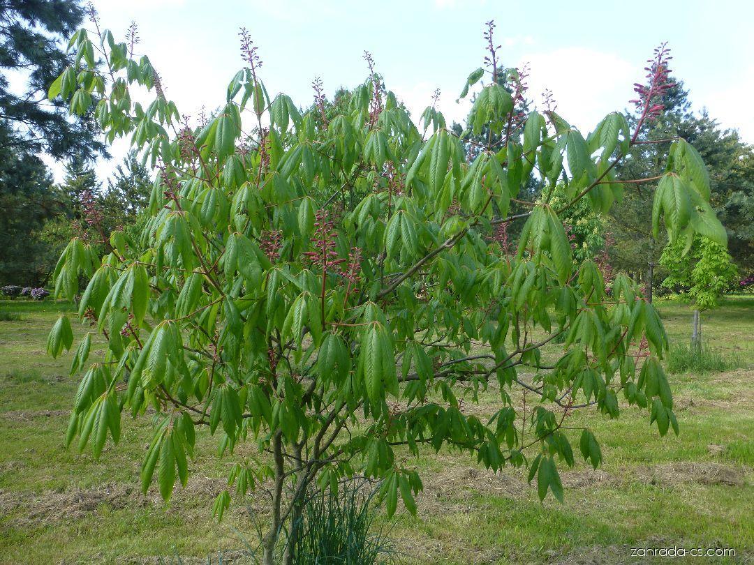 Jírovec pávie, pávie červená - Aesculus pavia Humilis