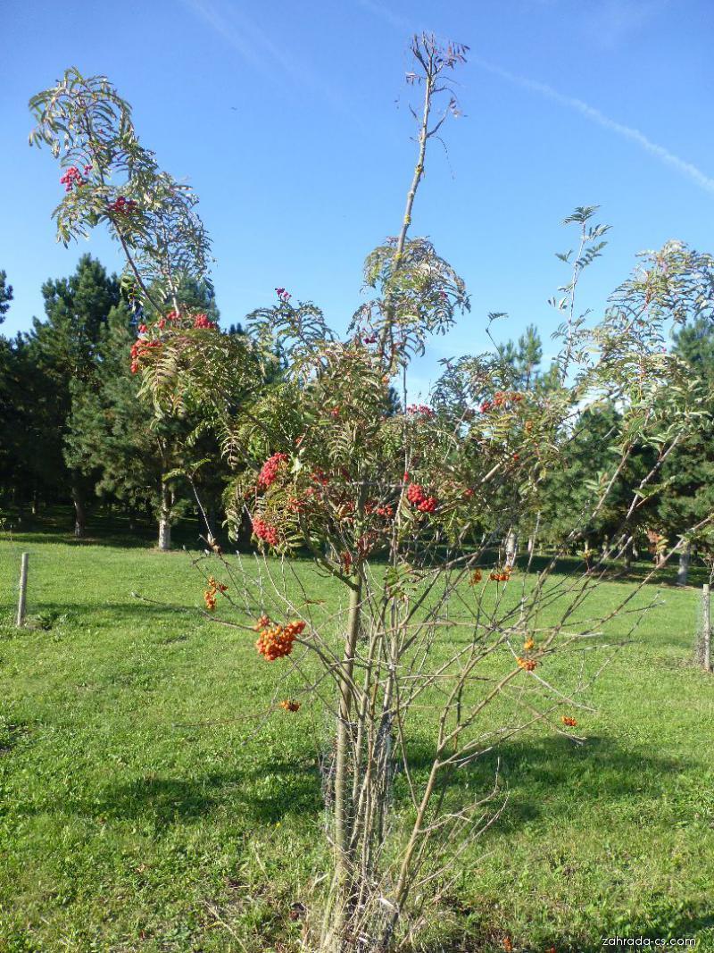 Jeřáb Chinese Lace - habitus s plody (Sorbus hybrida)