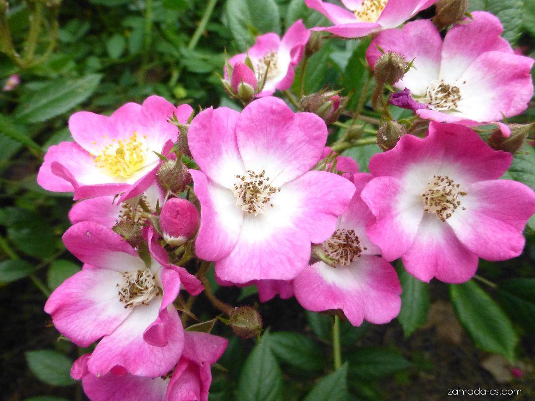 Růže - Rosa Mozart
