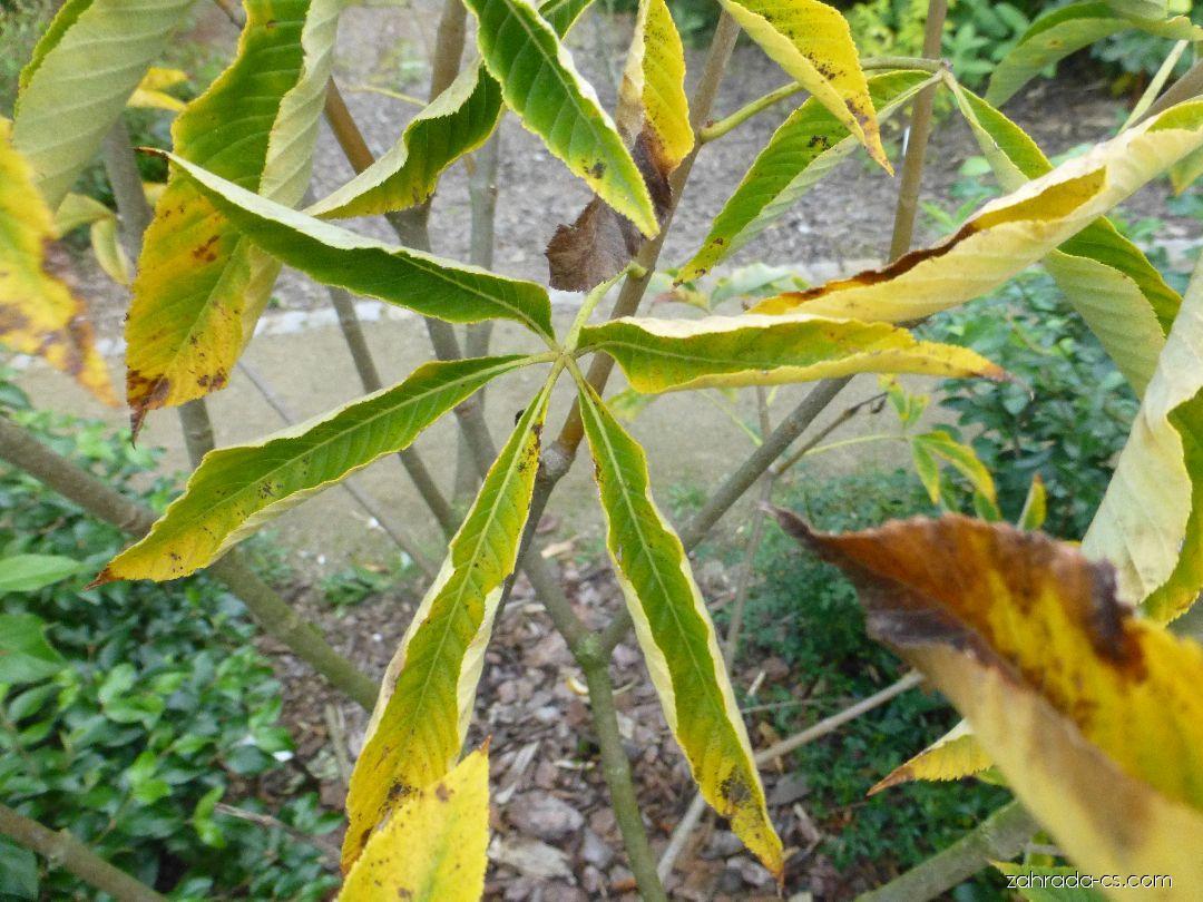 Jírovec pávie, pávie červená - Aesculus pavia Rosea Nana