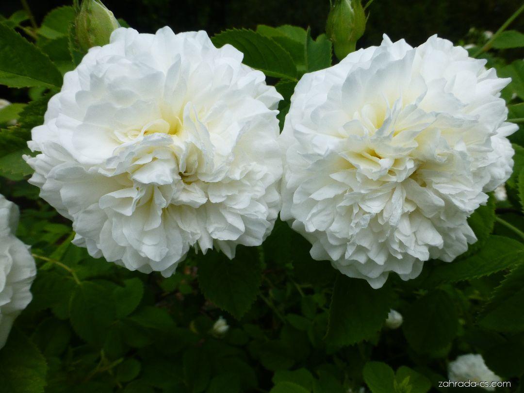 Růže - Rosa Madame Legras de St. Germain